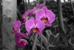 Art: Orchid on Black by Artist Carolyn Schiffhouer