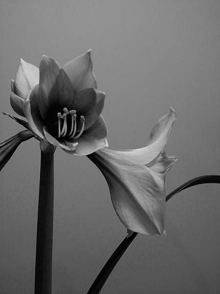 Art: Amaryllis in Black and White by Artist Carolyn Schiffhouer