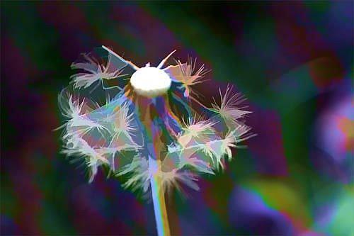Art: Dandelion in Glory by Artist Carolyn Schiffhouer