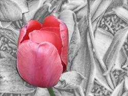 Art: Red Tulip by Artist Carolyn Schiffhouer