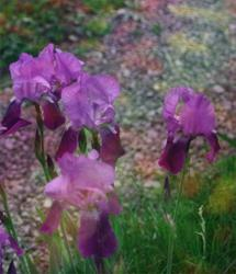 Art: Four Iris by Artist Carolyn Schiffhouer