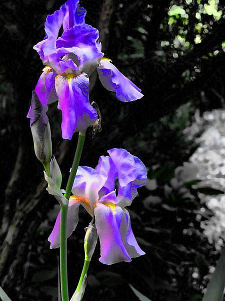 Art: Iris Glory by Artist Carolyn Schiffhouer