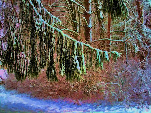 Art: Conifer Grace by Artist Carolyn Schiffhouer