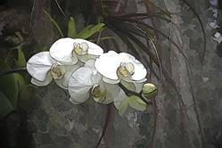 Art: White Orchid by Artist Carolyn Schiffhouer