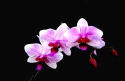 Art: Orchid on Black2 by Artist Carolyn Schiffhouer