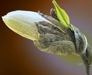 Detail Image for art Magnificent HIndenburg Magnolia