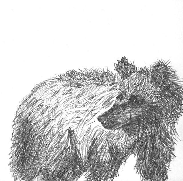 Art: Sketch of a Grizzly by Artist Gabriele Maurus