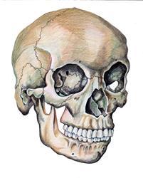 Art: Skull study by Artist Muriel Areno
