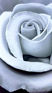 Detail Image for art WHITE ROSE