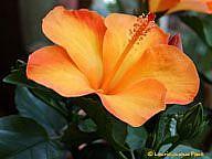 Art: Hibiscus Orange by Artist Laurie Justus Pace