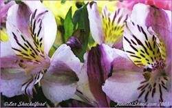 Art: Pair of Colorful Orchids by Artist Lar Shackelford