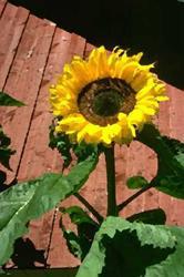 Art: Sunflowers on the Electric Fence by Artist Shari Lynn Schmidt