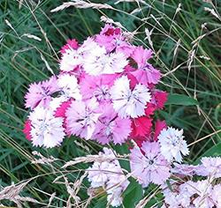 Art: Dianthus Multicolor by Artist Ulrike 'Ricky' Martin