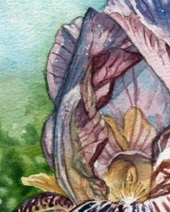 Detail Image for art Bearded Iris