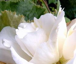 Art: White Begonia Closeup by Artist Deborah Leger