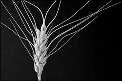 Art: wheat by Artist Revere J