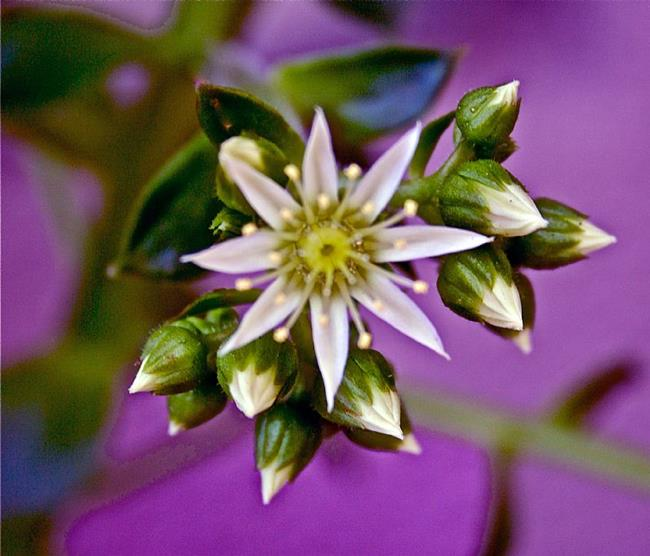Art: White Star Flower by Artist Ruth Edward Anderson