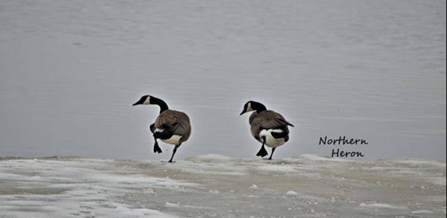 Art: Geese Line Dance by Artist Stephanie M. Daigle