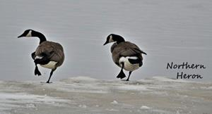 Detail Image for art Geese Line Dance