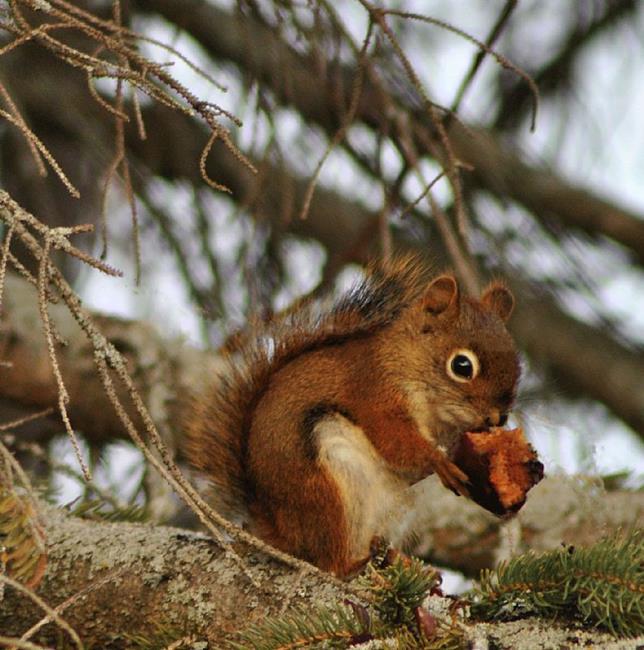 Art: Squirrels Love Apples! by Artist Stephanie M. Daigle