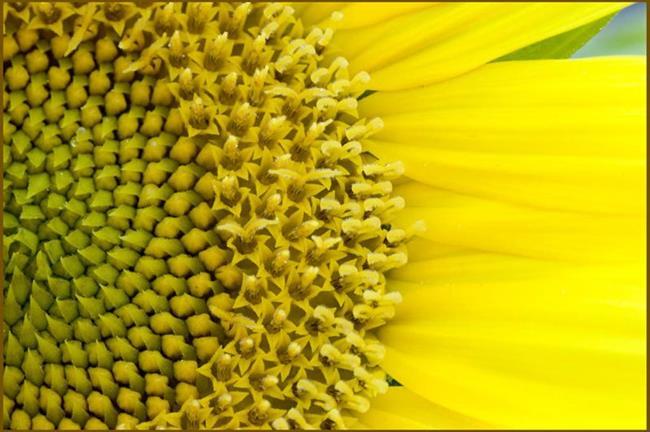 Art: Sunflower Starburst by Artist Revere J
