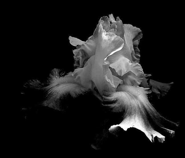 Art: Black & White Iris 3 by Artist Windi Rosson