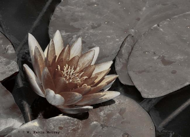 Art: water lily in sepia by Artist W. Kevin Murray