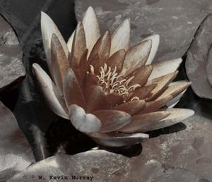 Detail Image for art water lily in sepia
