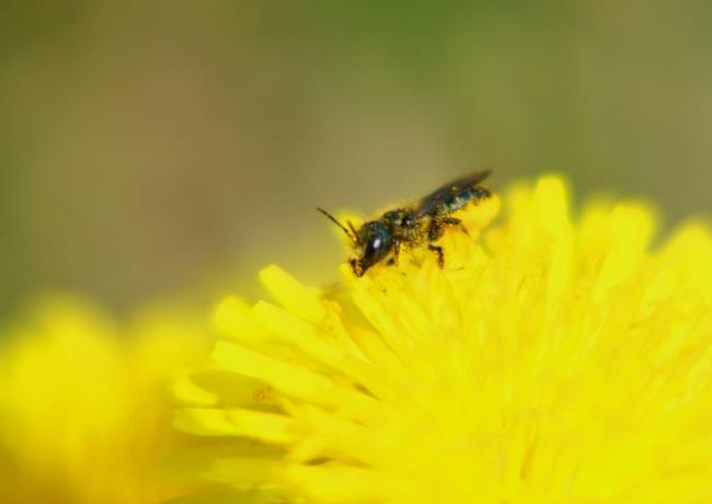 Art: dandy pollen by Artist W. Kevin Murray