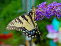 Art: swallowtail enjoying lilacs by Artist W. Kevin Murray
