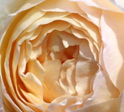Art: Old Fashioned Rose by Artist Darlene Dunat