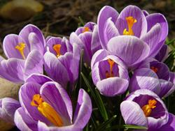 Art: a symphony of crocus by Artist W. Kevin Murray