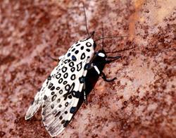Art: White Leopard by Artist W. Kevin Murray