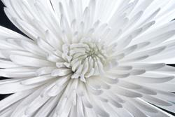 Art: White Flower by Artist Martha Di Giovanni