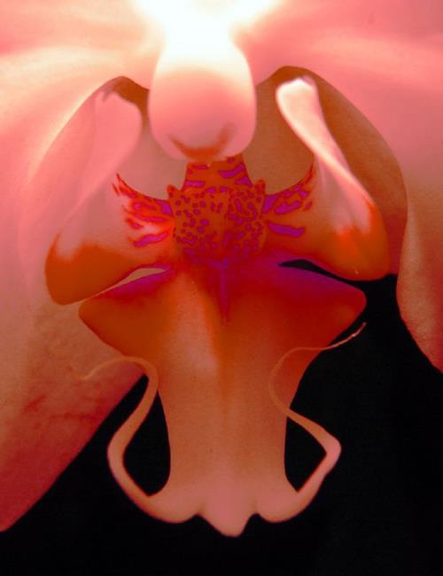 Art: Firey Orchid by Artist Rebecca M Ronesi-Gutierrez
