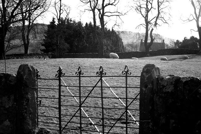 Art: Trawsfynydd Sheep by Artist Amanda Hone