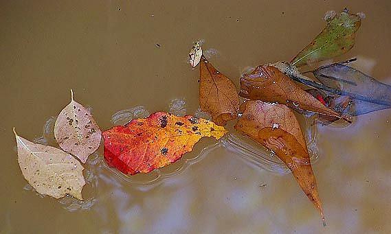 Art: Creek leaves 1 of 4 by Artist Windi Rosson