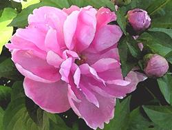 Art: Peony Pink Blush by Artist Laurie Justus Pace