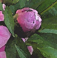 Detail Image for art Peony Pink Blush