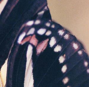 Detail Image for art Butterfly Black