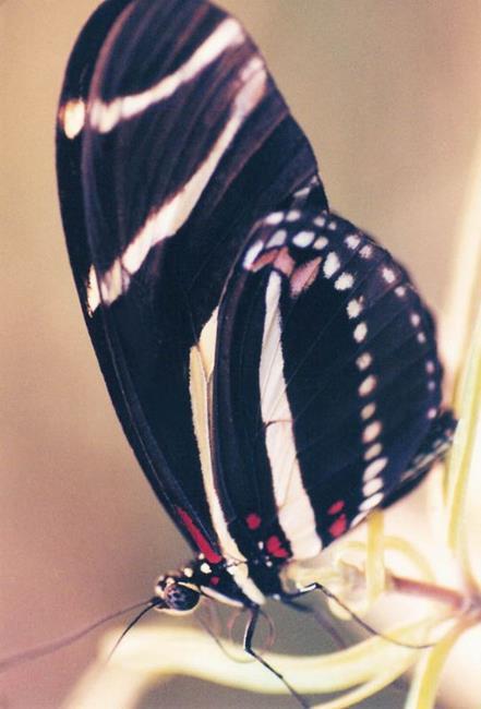Art: Butterfly Black by Artist Shawn Marie Hardy