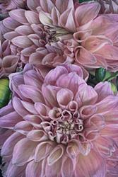 Art: Dahlias by Artist Martha Di Giovanni