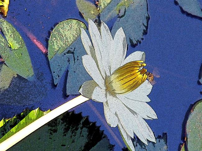 Art: water lilly with bee edges.jpg by Artist Diane Funderburg Deam