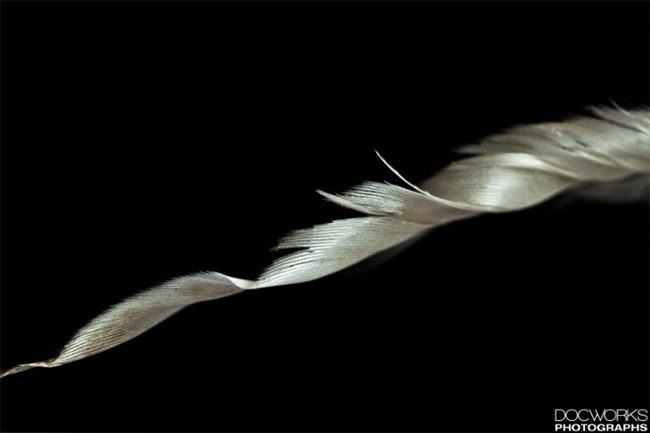 Art: Feather5.jpg by Artist Martha Di Giovanni