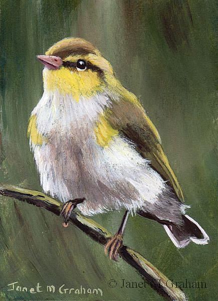 Art: Wood Warbler ACEO by Artist Janet M Graham