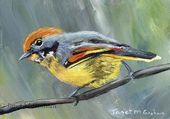 Art: Bar Throated Minla ACEO by Artist Janet M Graham