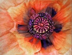 Art: Stately Poppy by Artist Alma Lee