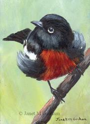 Art: Painted Redstart ACEO by Artist Janet M Graham