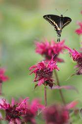 Art: Bee balm and the Swallowtail by Artist pamela jean lacasse