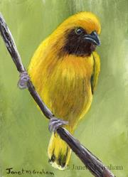 Art: Southern Brown Throated Weaver ACEO by Artist Janet M Graham